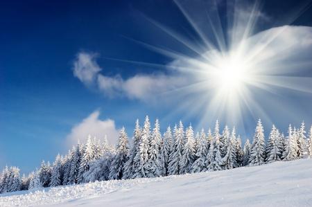 Paysage d'hiver avec de la fourrure des arbres et la neige fraîche. L'Ukraine, les Carpates