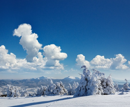 rime: Winter landscape with fur-trees and fresh snow. Ukraine, Carpathians