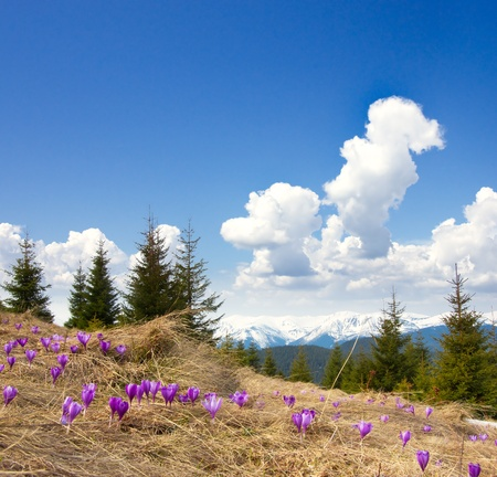 Spring landscape in the mountains with the first crocuses flower. Ukraine, the Carpathian mountains photo