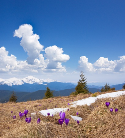 Spring landscape in the mountains with the first crocuses flower. Ukraine, the Carpathian mountains Stock Photo - 11763744
