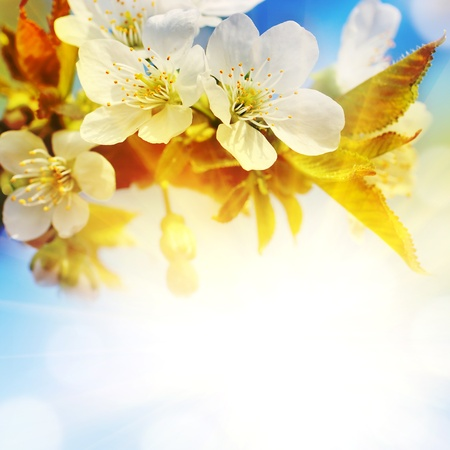 april flowers: Natural background for design with a blossoming branch of a sweet cherry Stock Photo
