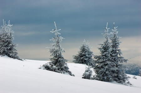 Winter background with a snow-covered wood landscape and a small fur-tree. Ukraine, Carpathians