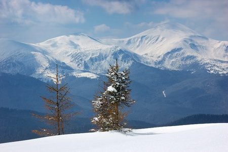 Winter landscape with fur-trees and fresh snow. Ukraine, Carpathians photo