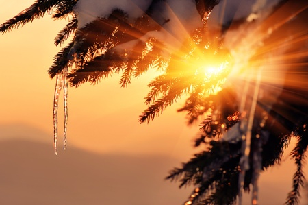 Fir branch with icicles at sunset. Winter background for design