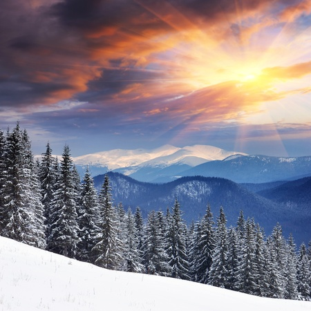 Winter landscape with fur-trees and fresh snow. Ukraine, Carpathians