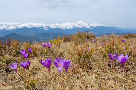 Spring landscape in the mountains with the first crocuses flower. Ukraine, the Carpathian mountains Stock Photo - 12654830