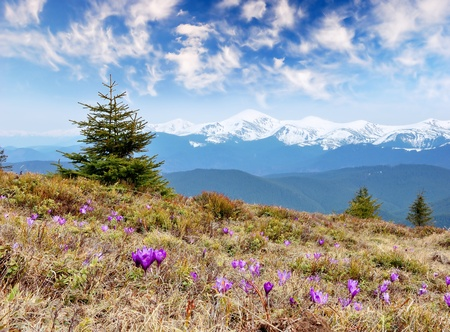 crocus: Spring landscape in the mountains with the first crocuses flower. Ukraine, the Carpathian mountains