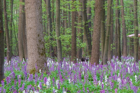 The first spring flowers in wood Standard-Bild