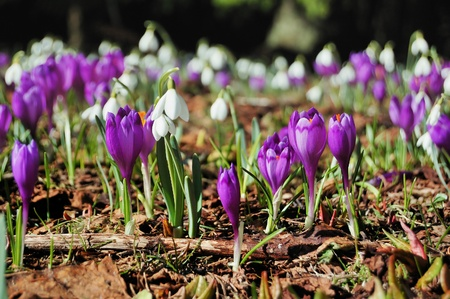 Many blossoming snowdrops and crocuses. Early spring Standard-Bild