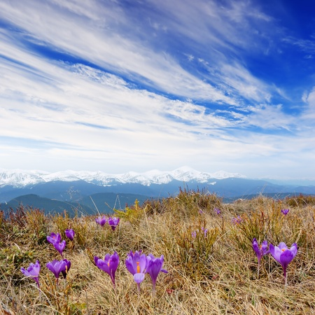 snow flowers: Spring landscape in the mountains with the first crocuses flower. Ukraine, the Carpathian mountains