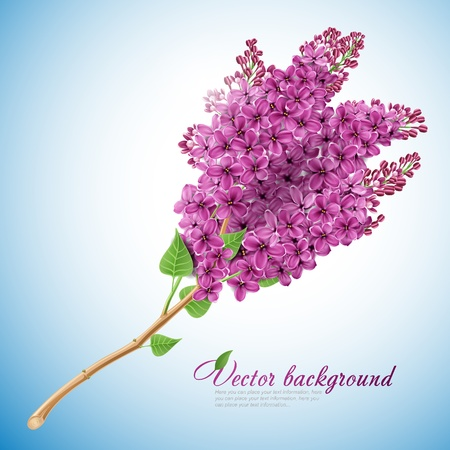 lilac flower: The branch of blooming lilacs