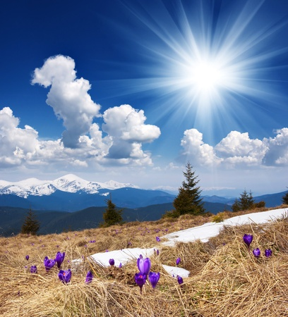 Spring landscape in the mountains with the first crocuses flower  Ukraine, the Carpathian mountains
