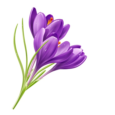 Vector spring flowers isolated on white background  Vector illustration crocuses