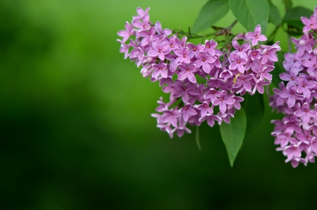 Background on a spring theme with a lilac on a background of leaves