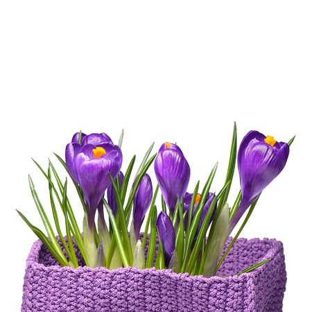 Spring crocus flowers isolated on white background photo