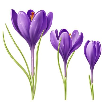 krokus: Vector illustratie van drie krokus bloemen Stock Illustratie