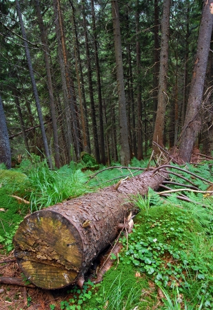 dampness: Forest after rain coniferous tree with its clipped