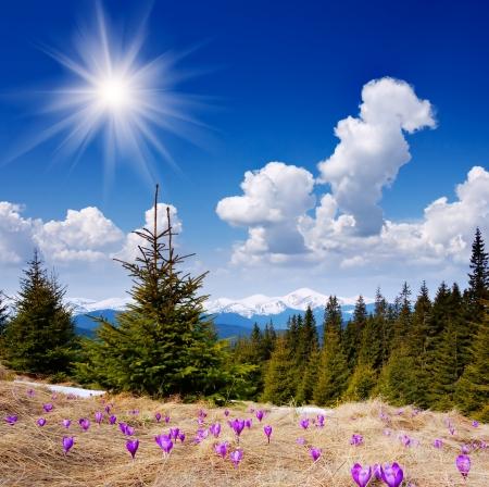 crocus: Beautiful spring flowers crocus in the mountains Stock Photo