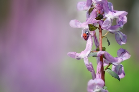corydalis: Spring background for design with a ladybug on a flower Corydalis Stock Photo