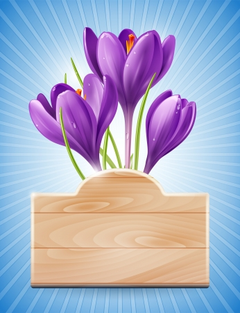 early spring: Wooden sign and spring flowers crocus on a blue background with rays