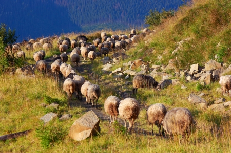 shepherds: Mountain landscape with a herd of sheep