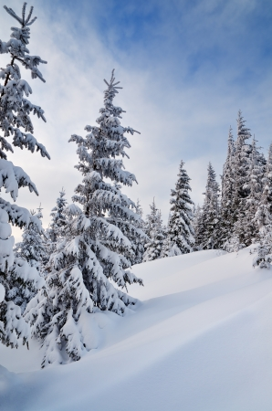 carpathian mountains: Winter landscape with fir trees under the snow