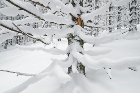 snowcovered: Winter landscape in a mountain forest with snow-covered fir branches