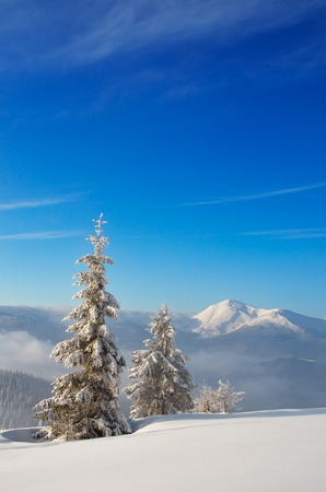 alp: Winter landscape with snow covered trees in a mountain valley  Carpathians, Ukraine, Europe