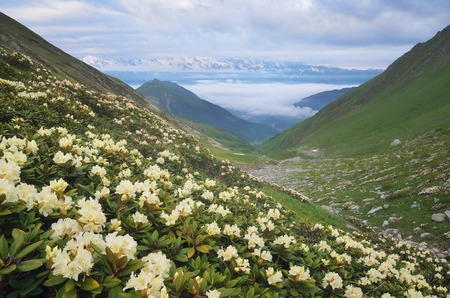 svaneti: Mountain landscape with meadow of blooming rhododendrons  Morning with beautiful flowers on the mountain slopes  Zemo Svaneti, Georgia Stock Photo
