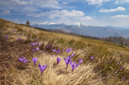 Spring landscape with flowers of crocus in a mountain valley  Carpathian mountains, Ukraine, Europe photo