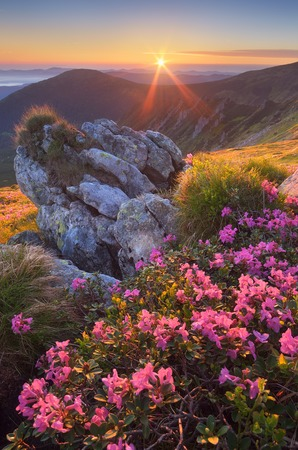 Fabulous sunrise in the mountains  Beautiful summer landscape with flowers of rhododendron  Meadow with red flowers  Carpathian mountains, Ukraine, Europe photo