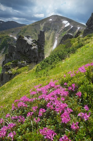 Lush pink rhododendron bushes  Mountain landscape with beautiful summer flowers  Carpathians, Ukraine photo