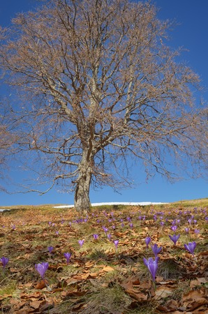 awaking: Spring crocus flowers in the mountain beech forest