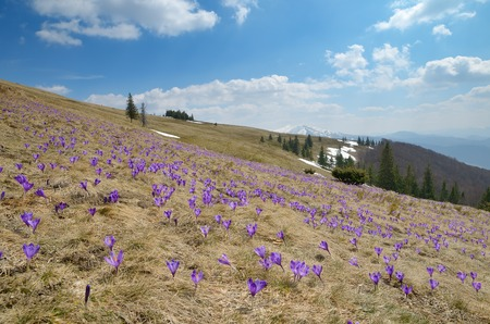 awaking: Flowering meadow in the mountains  Spring landscape sunny day  Carpathians, Ukraine
