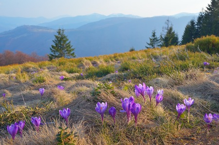 awaking: Mountain landscape with beautiful flowers of crocuses  Carpathians, Ukraine Stock Photo