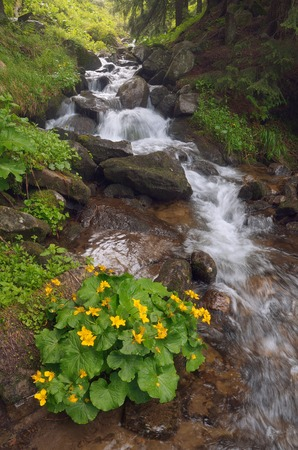 palustris: Yellow flowers Caltha palustris in a mountain stream  Forest landscape with a bush of flowers and a mountain stream  Carpathians, Ukraine