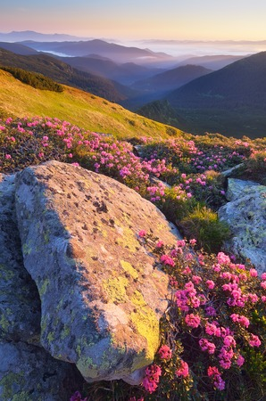 Sunny Dawn in the mountains  Blooming rhododendron bushes  Pink flowers in the morning sun  Carpathian mountains, Ukraine, Europe photo