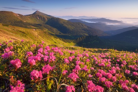 Sunny morning in the mountains  Blooming rhododendron glade  Pink flowers in the morning sun  Carpathian mountains, Ukraine, Europe photo