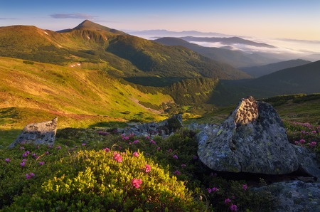 Mountain landscape on a sunny morning in the mountains  Blooming rhododendron bush in the sun  Pink flowers  Carpathian mountains, Ukraine, Europe photo