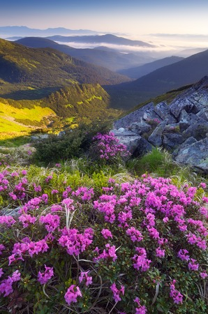 Morning landscape with meadow of mountain flowers  Blooming pink rhododendron  Summer dawn  Carpathians, Ukraine photo