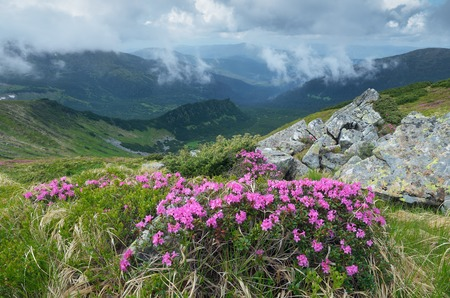 Overcast summer day with clouds  Blooming rhododendron bush  Landscape with pink flowers  Carpathian mountains, Ukraine, Europe photo