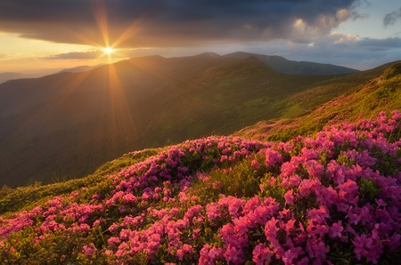 Summer landscape with flowers of rhododendron  Evening with a beautiful sky in the mountains  Glade of pink flowers  Carpathians, Ukraine, Europe photo
