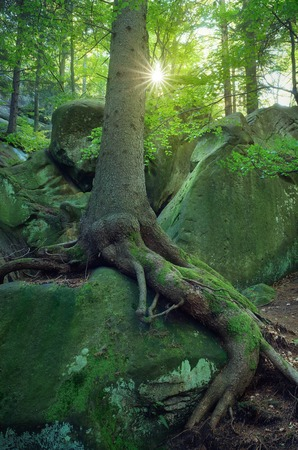 Summer landscape with fairy forest  Green moss on stones and trees with beautiful roots  Carpathians, Ukraine, Europe photo