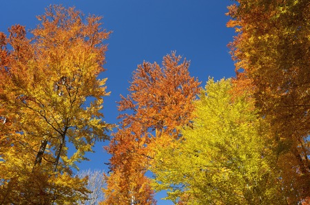 Beech forest on blue sky background  Bright colors of autumn  Branches with autumn leaves photo