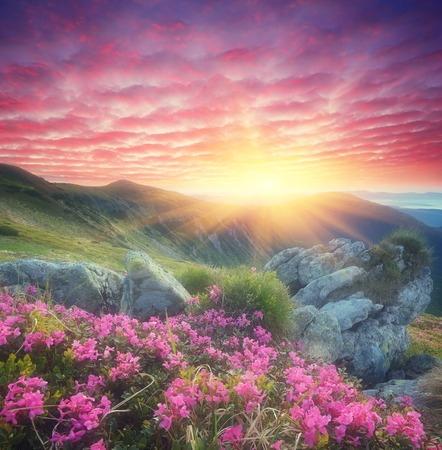 Fabulous sunrise in the mountains  Beautiful summer landscape with flowers of rhododendron  Meadow with red flowers  Soft effect  Color toning photo