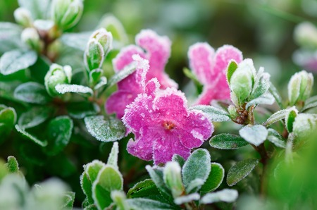 frost covered: Rhododendron flowers covered with frost  Stock Photo