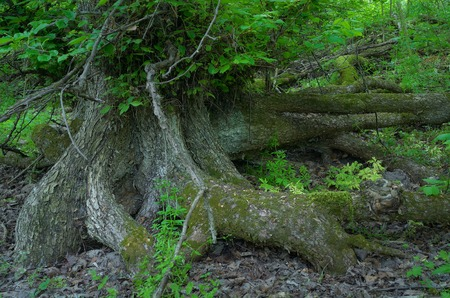 deep roots: Amazing tree roots deep in the forest  Fabulous landscape Stock Photo