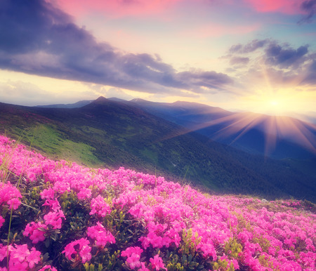 Summer landscape with flowers of rhododendron  Evening with a beautiful sky in the mountains  Glade of pink flowers  Soft effect  Color toning photo