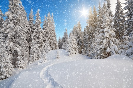 Winter landscape. The trail in the snow. Mountain forest. Carpathians, Ukraine, Europe photo