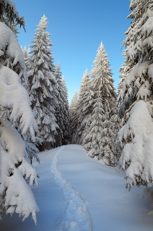 Winter landscape. Spruce forest in the snow. The trail leading off into the woods photo